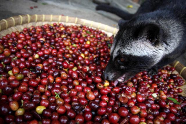 Kopi Luwak, ζωικός καφές