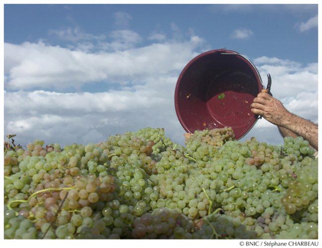 Dans la région délimitée Cognac, les vendanges se déroulent de la mi-septembre jusqu'au début du mois d' octobre.